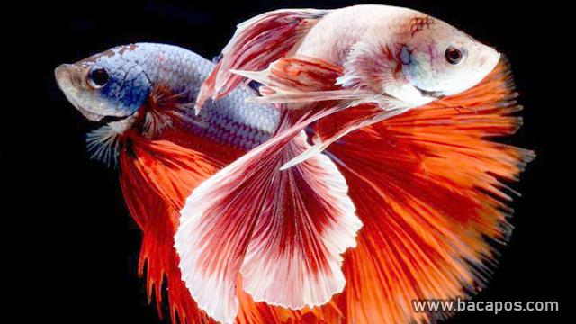 The Brawler Siamese Fish
