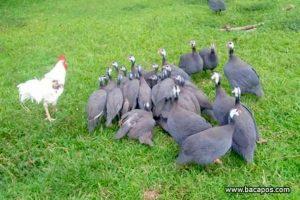 Ayam langka di dunia, ayam unik, terlangka dan paling langka di dunia