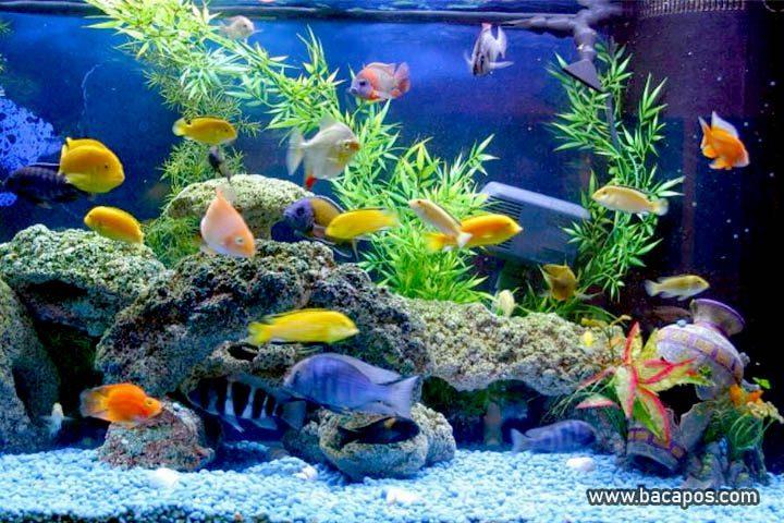 Bermacam ikan hias air tawar terbaik untuk aquarium mulai dari yang kecil hingga ikan guppy termahal