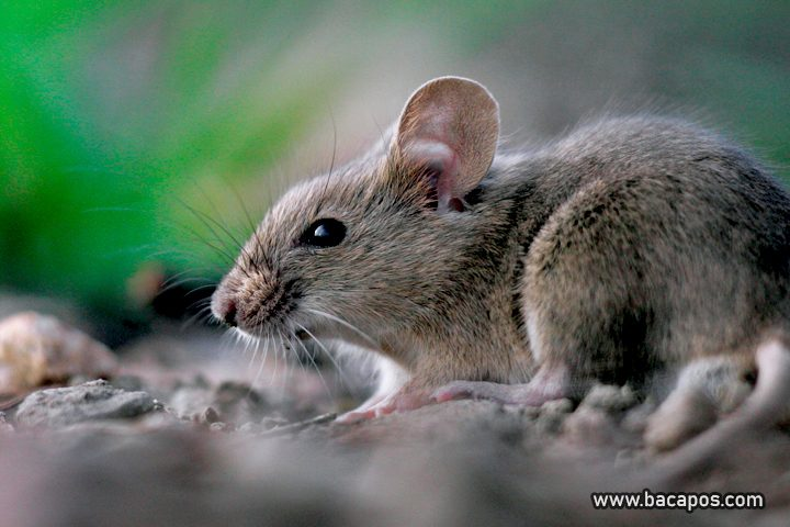 Tanaman atau tumbuhan pengusir tikus dan nyamuk